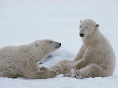 A Pair of Polar Bears, Ursus Maritimus, Sit in a Snowy Landscape