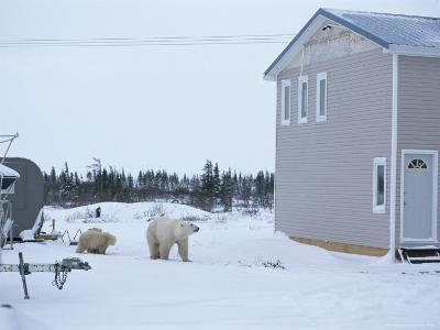 A Polar Bear and Her Cubs Outside a House in Churchill