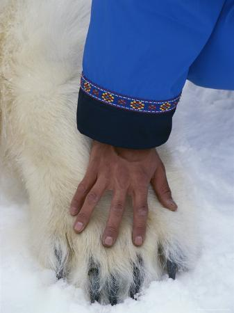 Comparison in Size of a Mans Hand and a Small Polar Bears Paw