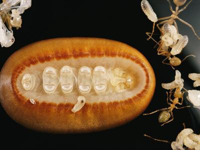 A Liphyra Brassolis Caterpillar Feeds Upon Green Tree Ant Larva
