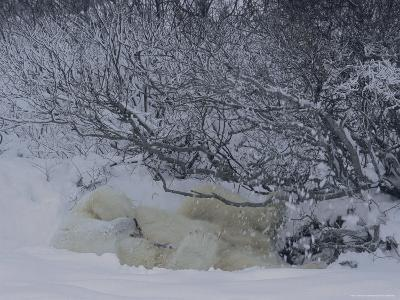 A Resting Polar Bear Gets Showered with Snow When it Shakes a Branch