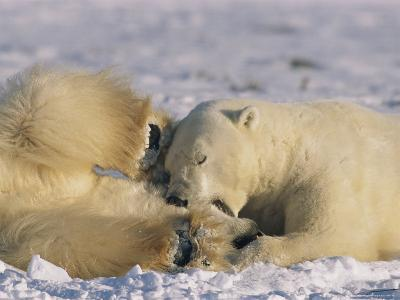 A Male Polar Bear Chomps on the Head of Another During Play-Fighting