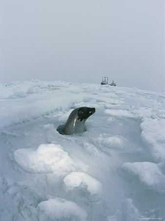 A Harp Seal Surfaces in an Airhole in Pack Ice