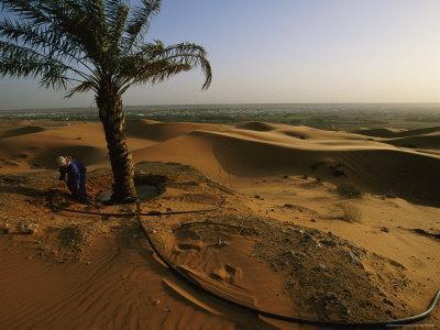 A Lone Palm Tree is Irrigated in the Desert of Saudi Arabia