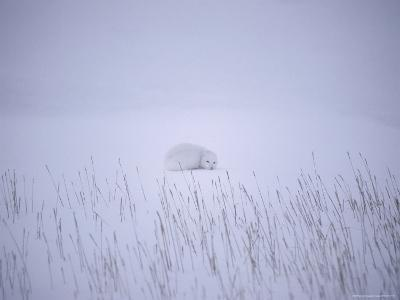 View of Arctic Fox (Alopex Lagopus) in its Winter Pelt Curled up in the Snow