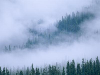 Spruce Trees Peek Through the Fog in Yoho National Park