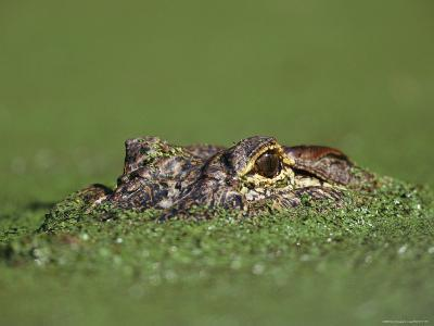 A Female Nile Crocodile Carries Her Newly Hatched Babies in Her Mouth