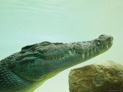 An Estuarine Saltwater Crocodile Underwater with Eyes and Jaw Shut
