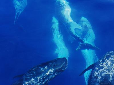 A Pod of Rare Rissos Dolphins Swimming Along the Continental Shelf