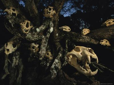 A Collection of Jaguar Skulls Taken by Local Cattle Ranchers