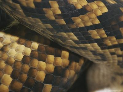 A Close View of the Skin and Scales of a Scrub Python