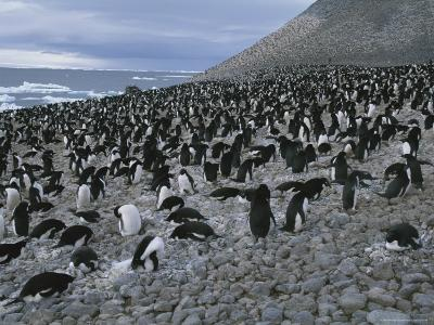 Adelie Penguin Rookery on Paulet Island, Hundreds of Thousands of Penguins Nest on This Rookery