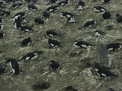 Nesting Chinstrap Penguins in a Rookery on Baily Head