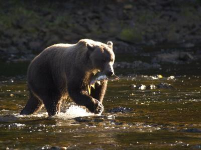 A Brown Bear with a Freshly Caught Salmon