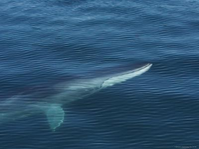 A Fin Whale Swimming under the Rippled Surface of the Sea of Cortez
