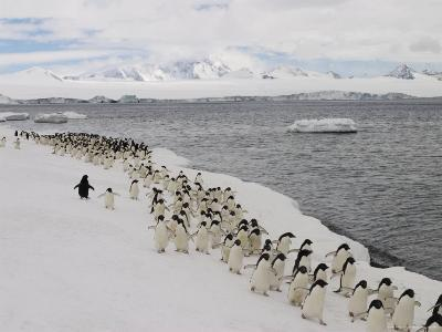 A Group of Adelie Penguins Walking Along the Waters Edge