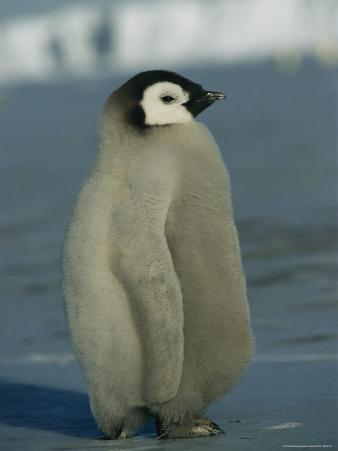 A Juvenile Emperor Penguin Sports a Fluffy, Gray Coat of Downy Feathers