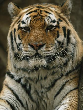 A Portrait of Khuntami, a Male Siberian Tiger, Looking Regal