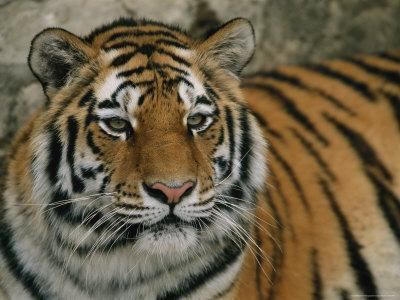 A Siberian Tiger Rests In Its Outdoor Enclosure Photographic Print