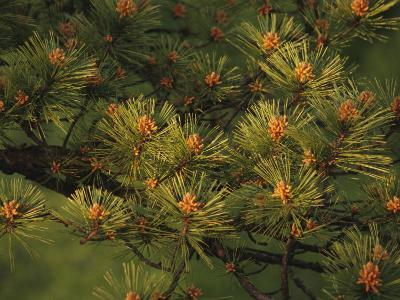 Pitch Pine Needles in Late Afternoon Light