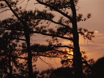 Silhouetted Pitch Pine Needles at Sunset