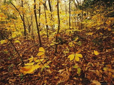 Hickory Saplings in Autumn Colors Along the Cape Fear River
