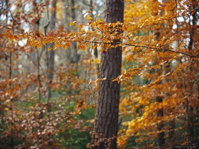 Autumn-Colored Beech Trees and Pine in Upland Hardwood Forest