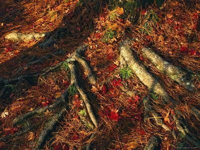 Oak Tree Roots and Pine Needles Covering a Woodland Trail