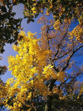 Oak Tree in Golden Fall Colors Along the Appalachian Trail