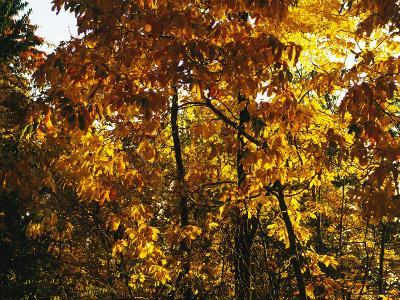 Hickory Tree in Golden Fall Color Along the Appalachian Trail