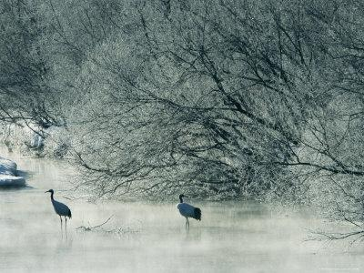 Japanese or Red-Crowned Cranes Wade Through Mist Rising on a River
