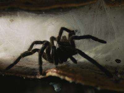 A Tarantula (Theraphosidae Family) Emerges from its Web