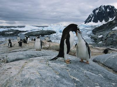 A Gentoo Penguin Chick Receives a Meal of Regurgitated Krill and Small Fish from a Parent Penguin