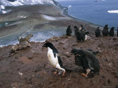 Two Juvenile Adelie Penguins Chase after a Parent, Begging for a Meal of Regurgitated Krill