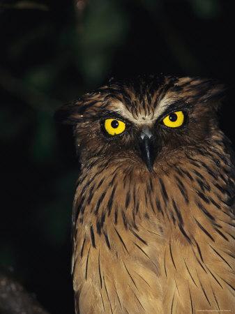 A Buffy Fish Owl