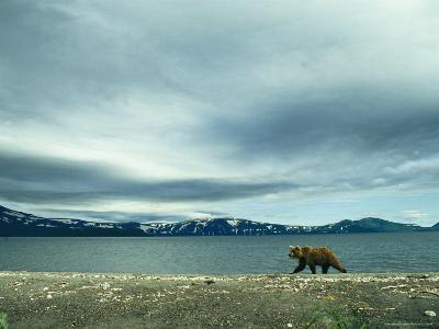 A Brown Bear Walking Along a Shoreline under a Cloudy Sky