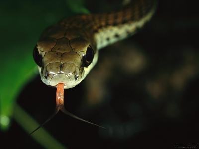 An Arboreal Snake Sensing with its Tongue