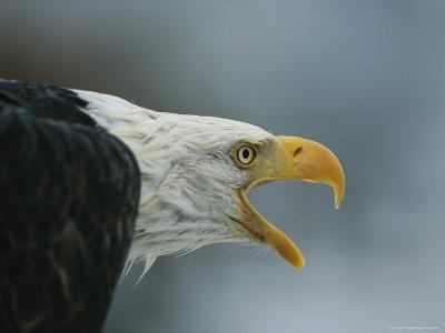 A Close View of the Head of an American Bald Eagle