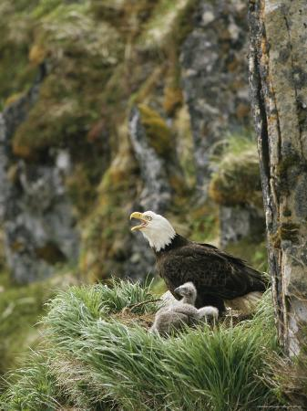 An American Bald Eagle and Chicks in Their Clifftop Nest