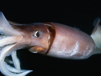 Close View of a Giant or Humboldt Squid at Night