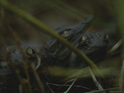 Trio of Newborn Nile Crocodiles in Loango National Park