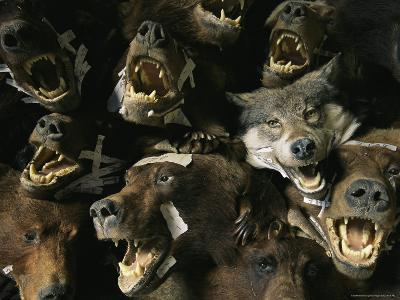 Heads of Grizzly Bears and Timber Wolves in a Taxidermists Studio