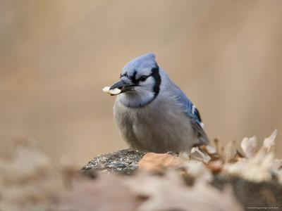 A Blue Jay (Cyanocitta Cristata) Finds a Snack on the Forest Ground