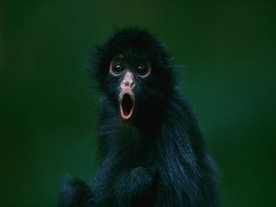 An Orphaned Black-Faced Spider Monkey Named Pulgoso