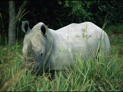 Endangered White Rhinoceroses