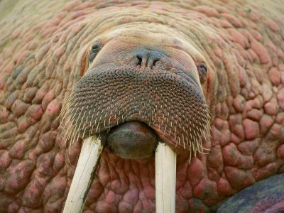 Close up of a Walrus