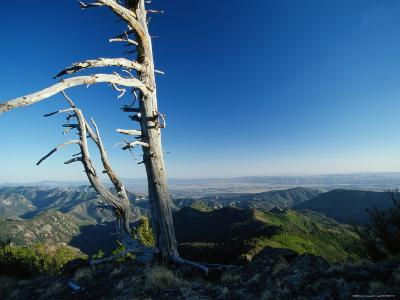 Scenic View of a Solitary Bristlecone Pine Tree