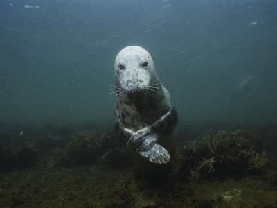 A Gray Seal in the Gulf of Maine