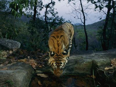 Indian Tiger Drinks from a Water Hole