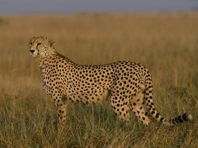 African Cheetah Standing in the Grass